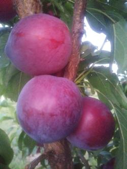 Frutta biologica Imola