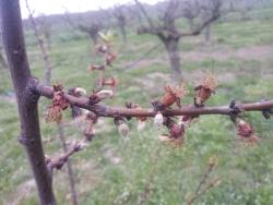 Frutticini di albicocco danneggiati da gelata tardiva